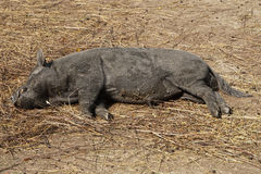wild pig resting Stock Photos