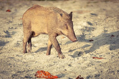 Wild pig on a sandy beach in the sunset Royalty Free Stock Photos