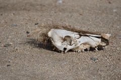 Wild pig skull Royalty Free Stock Image