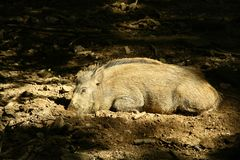 Wild pig is sleeping Royalty Free Stock Photography