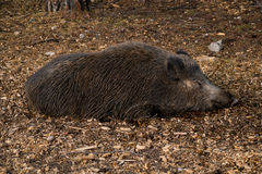 Wild pig sleeping Royalty Free Stock Photography
