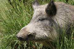 Wild pig sleeping in the sun. Close up of a wild pig sleeping in the sun stock photo