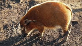 Wild Pig Sniffing Out Food stock video footage