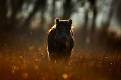 Wild pig, sunrise in forest. Autumn in the forest. Big Wild boar, Sus scrofa, running in the grass meadow, red autumn forest in ba Royalty Free Stock Photography