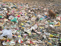 Wild pig in trash, Agra, India. A wild boar searching for food amongst road-side garbage in Agra, India Royalty Free Stock Photo