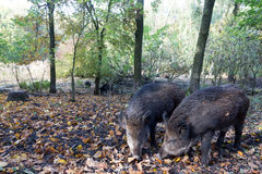 Wild pig. Two Wild Pigs looking for acorns between leaves Royalty Free Stock Photography