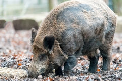Wild pig or wart hog searching food on ground Stock Photos