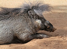 Wild Pig. Warty Hog Laying In Sunshine Stock Photos