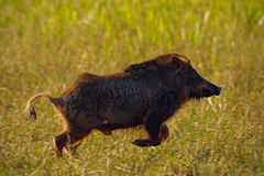 Wild pig, white-lipped peccary, Tayassu pecari, exotic animal running in the nature habitat, beautiful evening sun light, during s Stock Images