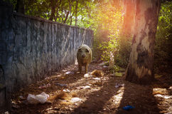 wild pig in woods forest Royalty Free Stock Images
