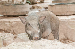 Wild pig Royalty Free Stock Photography