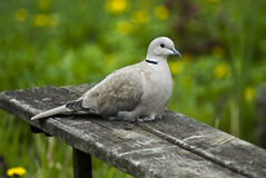 Wild pigeon. During the rest Stock Image