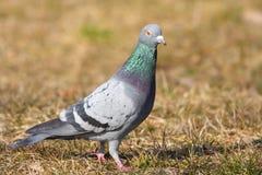 Wild pigeon. (columba livia) standing on dry grass Stock Image
