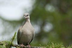 Wild pigeon Stock Photo