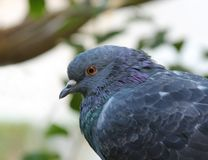 Wild Pigeon Stock Images