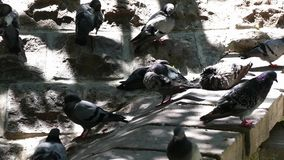 The pigeons affected by the sun are trying to cool off, stock video footage
