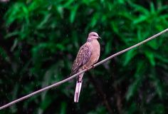 Wild pigeon bird in rain on wire monsoon india royalty free stock photography