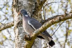 Wild pigeon with a branch in its beak. Wild german pigeon on a tree with a branch in its beak Royalty Free Stock Images