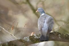 Wild pigeon on branch Royalty Free Stock Photos