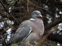 Wild pigeon on a branch of spruce Royalty Free Stock Photos