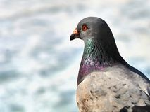 A wild pigeon in close-up, the neck shimmers in all colors, the plumage shiny. Red eyes and silver-gray wings, in front of it pale blue sky in bookeh royalty free stock images