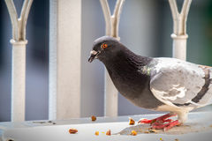Wild pigeon eating urban day home Royalty Free Stock Image