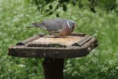 Wild Pigeon. Royalty Free Stock Photography