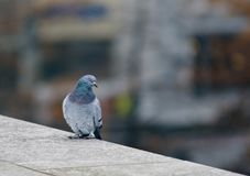 Wild pigeon on the granite wall in the city. Wild pigeon sit  on granite wall in the city and look to the camera Stock Photos