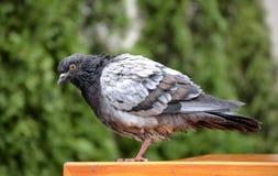 Wild pigeon portrait Stock Images