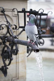 Wild pigeon. Standing on the fountain Royalty Free Stock Image