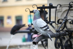 Wild pigeon. Standing on the fountain Royalty Free Stock Photo