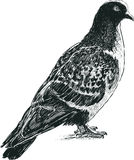 Wild pigeon Royalty Free Stock Photography