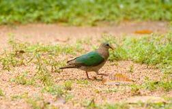 Wild Pigeon royalty free stock photo