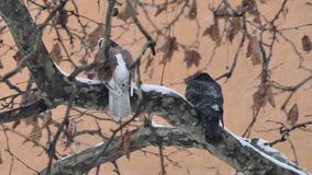 Wild pigeons on the branch when snowflakes falling. Close up stock footage