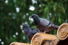 Wild pigeons Stock Images