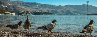 Wild pigeons.Pigeons on the beach. Beautiful pigeons with vibrant colors royalty free stock photo