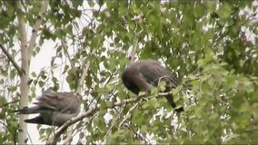 Wild pigeons stock video