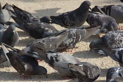 Wild pigeons - Closeup. The wild pigeons were so called urban Doves, carrier pigeons are pigeons stemming from domestic pigeons who returned to the nature. The Stock Photography