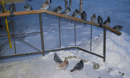 Wild pigeons in winter sitting on the handrail Stock Photo