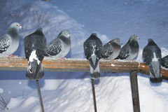 Wild pigeons in winter sitting on the handrail Royalty Free Stock Image