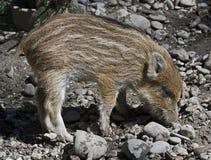 Wild piglet 2 Stock Image
