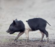 Wild piglet in Florida wetlands. Wild piglet walking in Florida wetlands Stock Photos