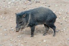 Wild piglet Stock Image