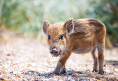 Wild piglet standing on a path. Stock Photography