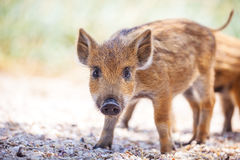 Wild piglet standing on a path. Royalty Free Stock Photo