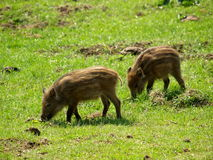 Wild piglets. Wild-boar piglets standing in the forest Royalty Free Stock Images