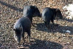 wild piglets Arkivfoton