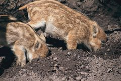 Wild piglets wild boar digging dirt. Wild piglets Sus scrofa digging the dirt in the forest around noon royalty free stock images