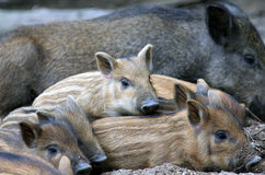 Wild piglets Stock Image