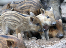 Wild piglets Stock Photography